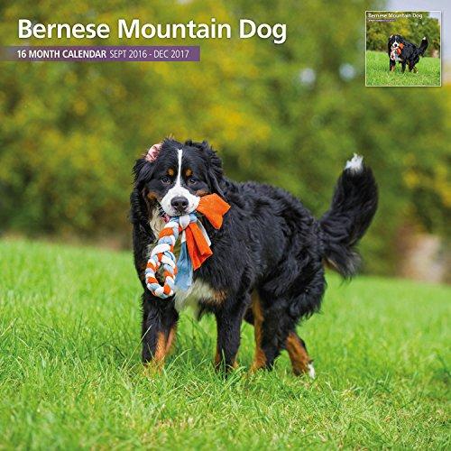 Magnet & Steel 2017 Bernese Mountain Dog Calendar, Traditional Wall Calendar