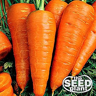 The Dirty Gardener Danvers Half Long Carrots, 1,000 Seeds