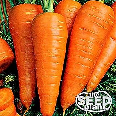 Danvers Half Long Carrot Seeds - 1000 Seeds Non-GMO : Garden & Outdoor