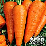 buy Danvers Half Long Carrot Seeds - 1000 SEEDS NON-GMO now, new 2019-2018 bestseller, review and Photo, best price $1.95