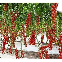 Graines Tomate Cerise Jaune Doré Légumes Bio Heirloom Russe Ukraine