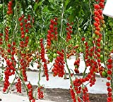 Seeds Rare Tomato Tree Red Vegetable Organic Heirloom Ukraine