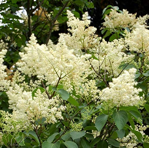 Ivory Silk Japanese Lilac Tree - Live Plant - 4-5 ft Tall by New Life Nursery & Garden (Image #2)