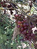 (1 Gallon) Reliance Red Seedless Grape Vine, American; Vitis Labrusca, Outstanding Mild Fruity Flavor, Pinkish Red Fruit with Tender Skin.
