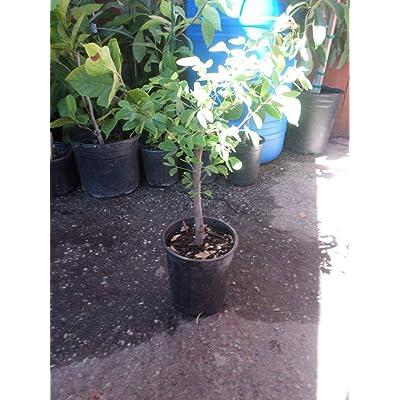 AchmadAnam - Live Plant - Guamuchil Pithecellobium Dulce - 1 Plant - 3 Feet Tall - Ship in 3 Gal Pot. E9 : Garden & Outdoor