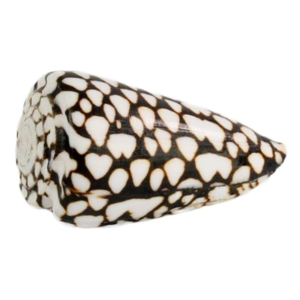 Seashell - Marble Cone - Sold in Case Pack of 5