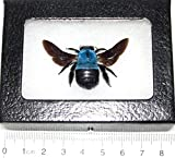 Bicbugs, LLC REAL FRAMED BUMBLEBEE BLUE CARPENTER BEE XYLOCOPA CAERULEA INDONESIA