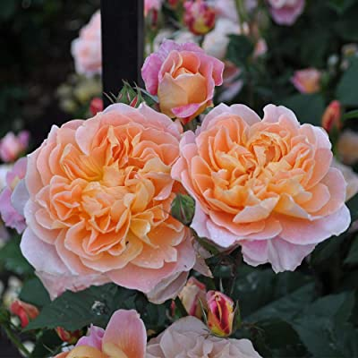 Own-Root One Gallon The Impressionist Climbing Rose by Heirloom Roses : Garden & Outdoor