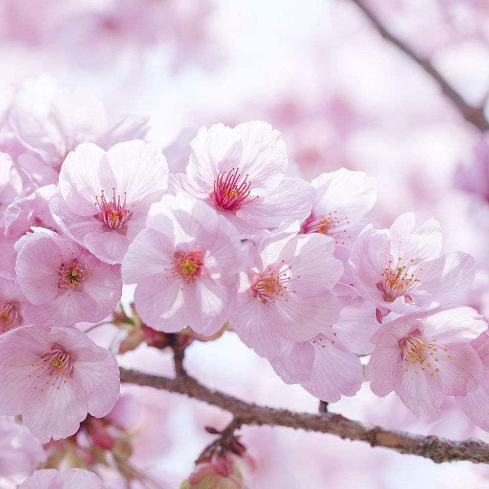 Rosepoem Cherry Tree Seed 20pcs Japanese Cherry Blossom Tree Seeds Ornamental Cherry Trees Seeds For Garden Amazon Co Uk Kitchen Home