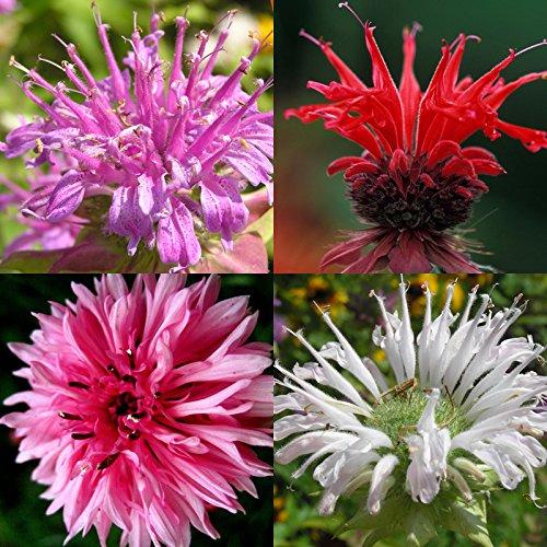60 Bergamot Seeds Monarda Mix Rare Medicinal Perennial HERB BEE Balm ()