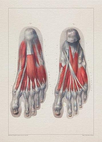 Amazon Com Anatomy Feet Tendon Muscle Print Sra3 12x18 Conqueror Laid Paper Handmade