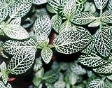 "Silver Nerve Live Plant Fittonia Verschaffeltii 4""Pot Indoor Houseplant Garden"