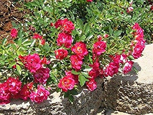 New Life Nursery & Garden / - / - Red Drift Groundcover Rose, Full Gallon Pot ()