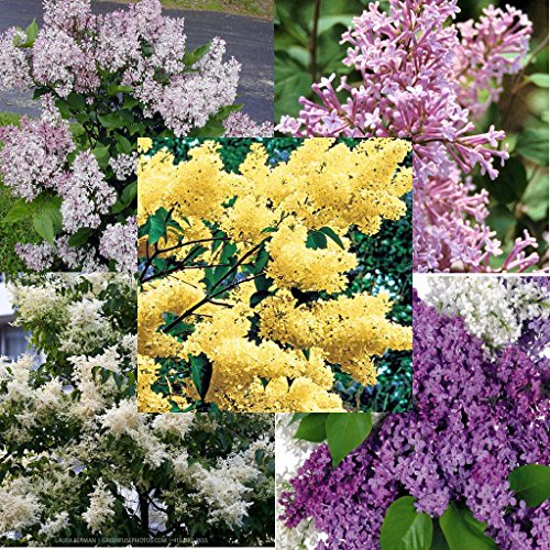 5 varieties of LILAC mixed 100 seeds, different colors and blooming times