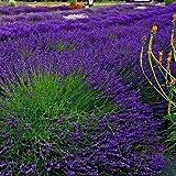 50 Seeds - Lavender Hidcote Flower Seeds (Lavandula Angustifolia)