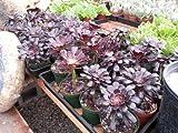 """Black Rose Aeonium Arboreum SCHWARZKOPF Succulent Live Rooted Plant in 4"""" Pot"""