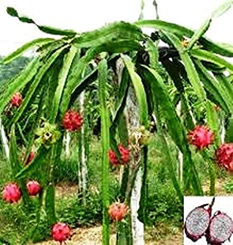 Amazoncom Dragon Fruit White Vietnamese Jaina Includes 4 Four