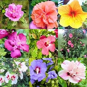 50 Mixed Colors Rose Of Sharon Hibiscus Syriacus Flower Tree Bush