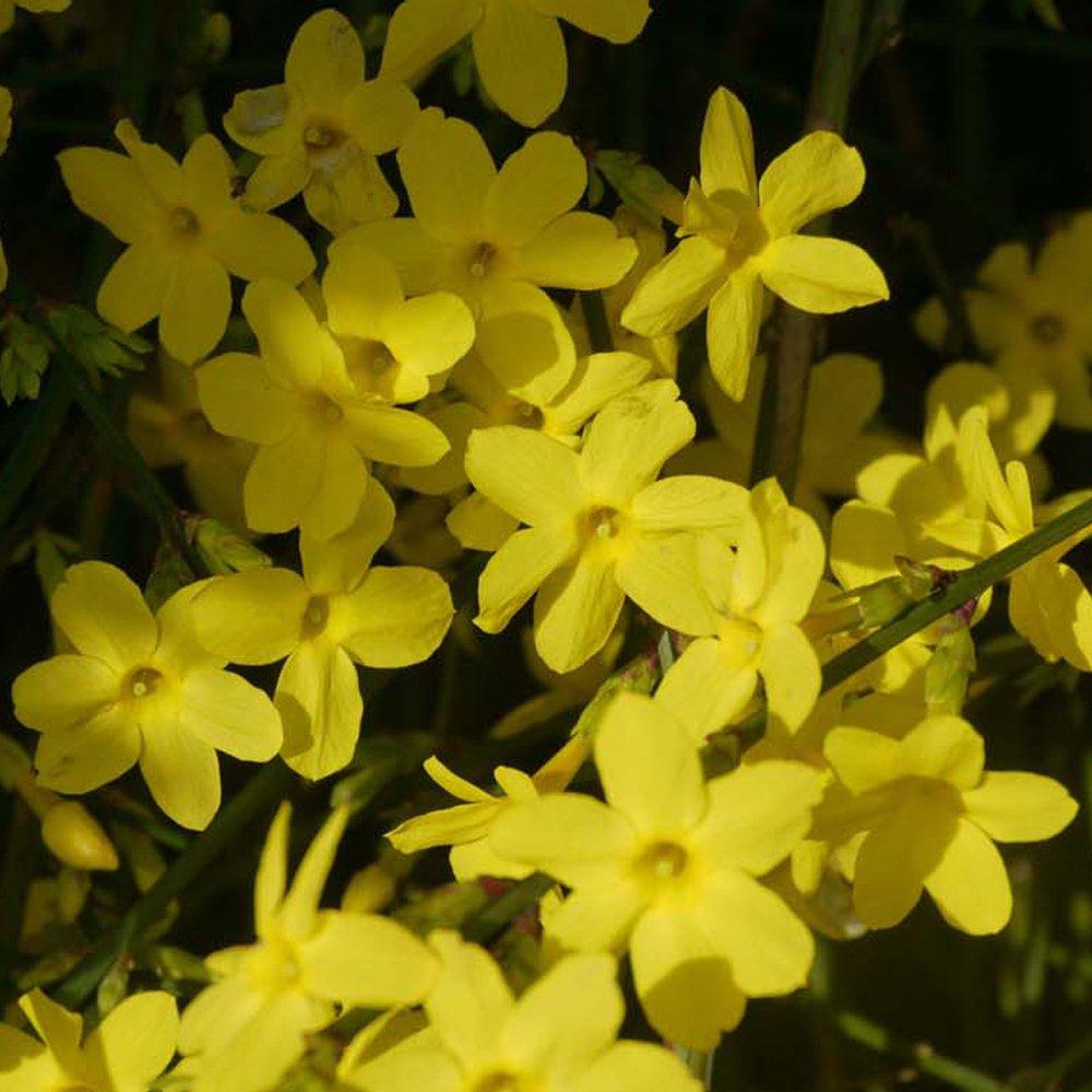Winter Jasmine Yellow Flowering Climbing Plant For Outdoor Gardens