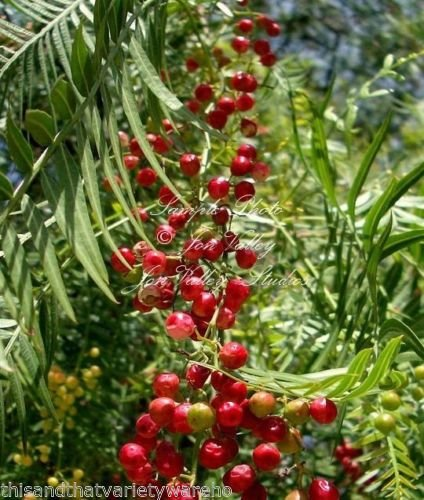 California Tree Pepper Schinus Molle Tree 10 Seeds (Trees Pepper California)