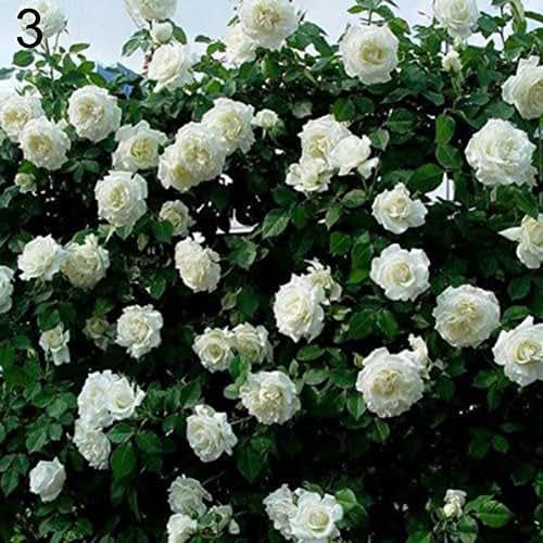 Narutosak 100 Pcs Climbing Rose Seeds Garden Home Balcony Fences Decor Plants Flowers - White