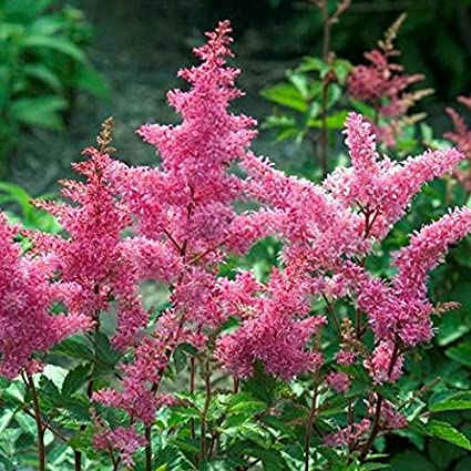 Amazon 1 gallon rheinland astilbe tall feathery blooms of 1 gallon rheinland astilbe tall feathery blooms of clear pink mightylinksfo