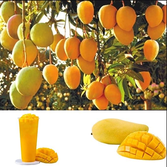 Semillas de Fruta del Mango Semillas Frutales Comestible Mango ...