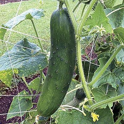 Sir Crunch a Lot Hybrid Cucumber Seeds (25 Seeds) : Garden & Outdoor