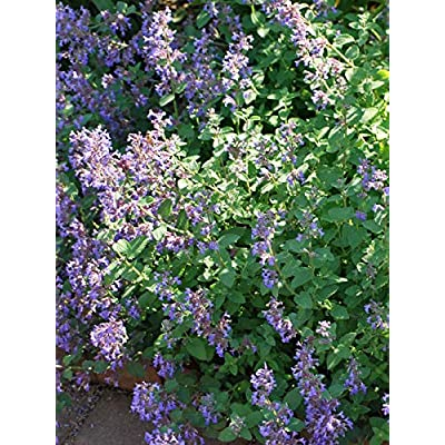 Perennial Farm Marketplace Nepeta r. 'Blue Wonder' (Catmint) Perennial, Size-#1 Container, Lavender Flowers on Gray-Green Foliage : Garden & Outdoor
