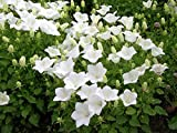 Flowers Seeds Campanula Carpatica White from Ukraine