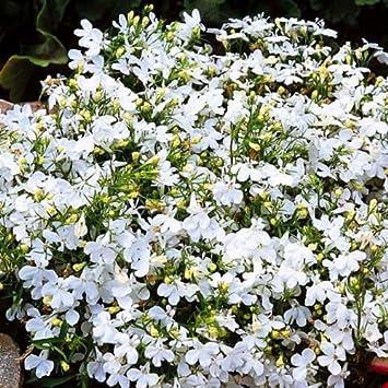 Trailing Lobelia Regatta White Lobelia Pendula 3500 Seeds Annual