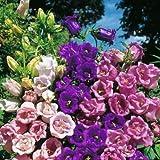 "Organic Flower seeds Bell ""Terry Mix"" (Campanula medium) Kolokolchik - 500 Seeds"