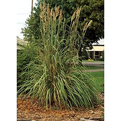 Toyensnow - Erianthus ravennae Hardy Pampas Grass (10 Seeds) : Garden & Outdoor