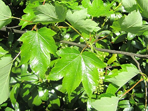 1 American Sycamore tree -Platanus occidentalis- 2 to 3 feet tall-$9.99 each