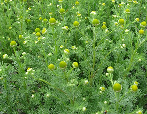 Wild Pineapple (HEIRLOOM NON GMO Wild Chamomile 100 seeds)