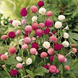 New Higro Mix Gomphrena Globe Amaranth Flowers, 30+ Seeds