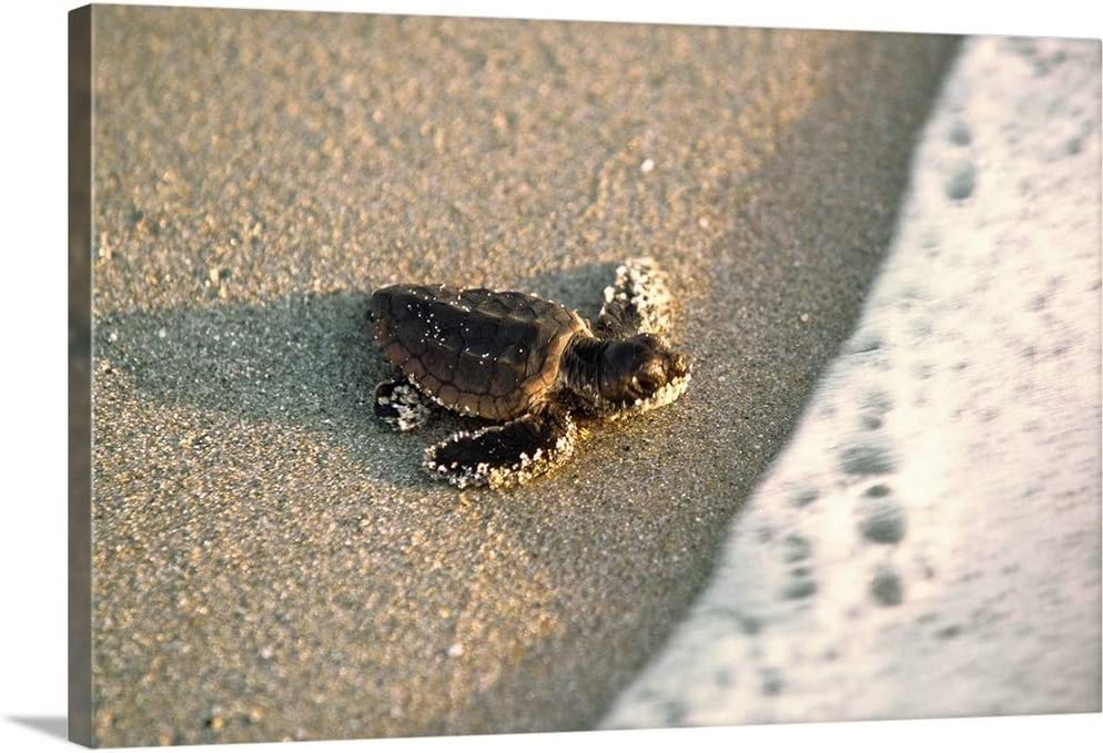 "Baby Loggerhead Sea Turtle Canvas Wall Art Print, 24""x16""x1.25"""