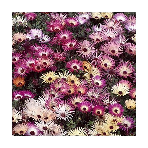 Ncient 20/50/100 Semi Sementi di Margarita di Color Di Arcobaleno Semi di Fiori Rari Fiori Piante per Orto Giardino… 6 spesavip