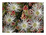 Mesembryanthemum crystallinum - ice plant - 15 seeds