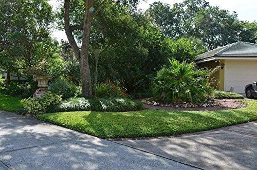 Asiatic Jasmine Minima - 40 Live Plants 2'' Pot Size - Trachelospermum Asiaticum - Drought Tolerant Cold Hardy Evergreen Ground Cover by Florida Foliage (Image #5)