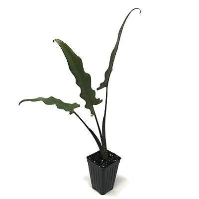 Alocasia Lauterbachiana Elephant Ear Live Plant : Garden & Outdoor