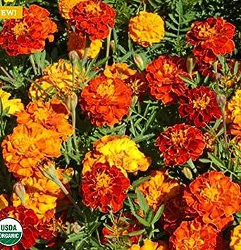 Beautytalk Giardino-Calendula Calendula resistente allinverno superba miscela Calendula ripiena fiori di arancio intenso semi di fiori api