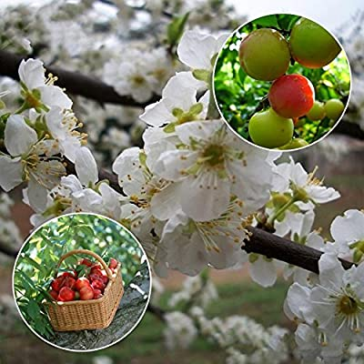XKSIKjian's Garden 10Pcs/Bag Plum Seeds Delicious Juicy Fruit Ornamental Plant Home Yard Office Decor Non-GMO Seeds Open Pollinated Seeds for Planting : Garden & Outdoor