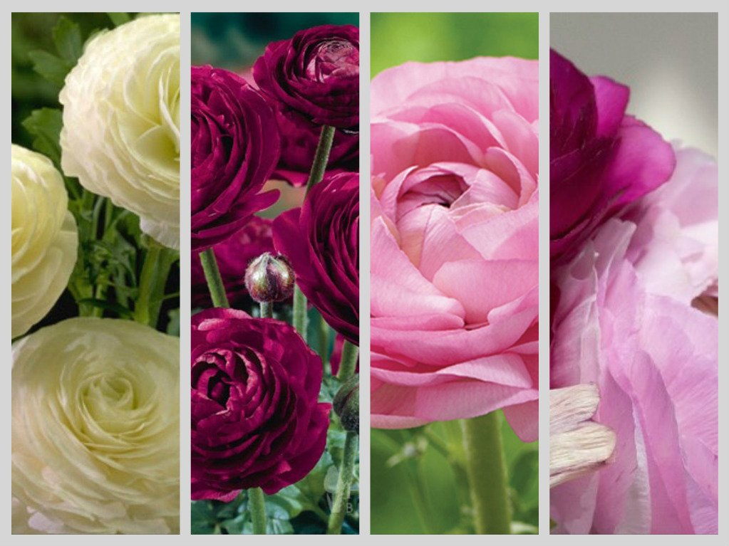 12 RANUNCULUS PURPLE, PINK & WHITE-PERENNIAL SPRING BULBS -CUT FLOWER GARDEN JULIA'S GARDEN