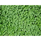 The Dirty Gardener Seedranch Dichondra Repens Seeds - 2 Pounds