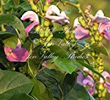 Canavalia gladiata 7 seeds Sword Bean Ornamental Tropical Vine Lavender sweet pea like blooms Trellis or fence Zone 8+ or annual garden