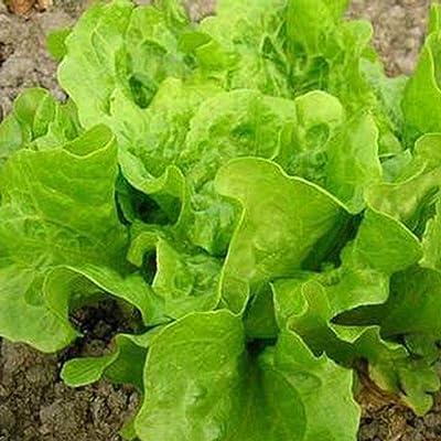 MelysUS Garden- Organic Buttercrunch Lettuce Seeds Bok Choy Seeds Butter Head Lettuce Green Vegetable Seeds For Healthy: Home Improvement