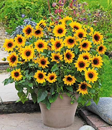(Qenci Seeds - 50 PCS Mini Sunflower Seeds Yellow Dwarf Sunflower Autumn Ornamental Plants for Garden Balcony Patio (50PCS))