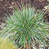 Sesleria caerulea 38 Ornamental Grasses Wholesale Moor Grass Zone 4-7