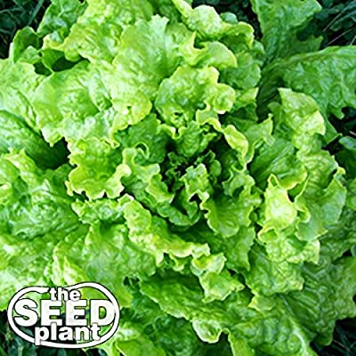 Black Seeded Simpson Lettuce Seeds - 1,000 Seeds Non-GMO